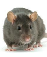 https://www.ncbi.nlm.nih.gov/IEB/Research/Acembly/images/rat.v75.jpg
