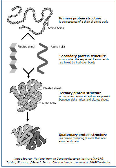 Image showing the four levels of protein structure: primary, secondary ...