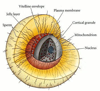 Human Chorionic Gonadotrophin  Labeled Human Egg Cell