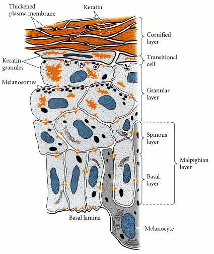 Figure 12.32. Diagram of the layers of the human epidermis.