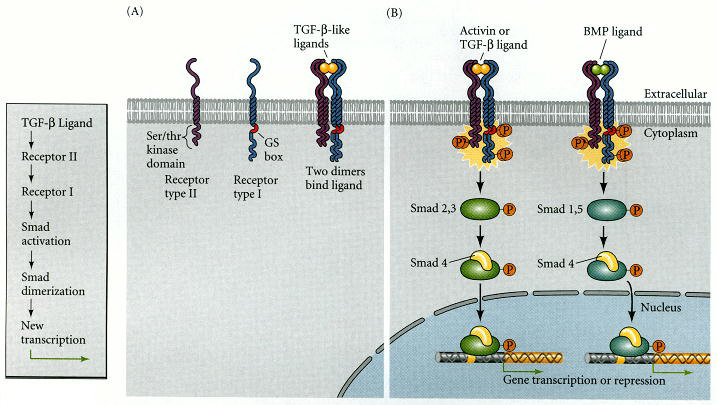 Figure 6.20. The Smad pathway activated by TGF-β superfamily ligands.