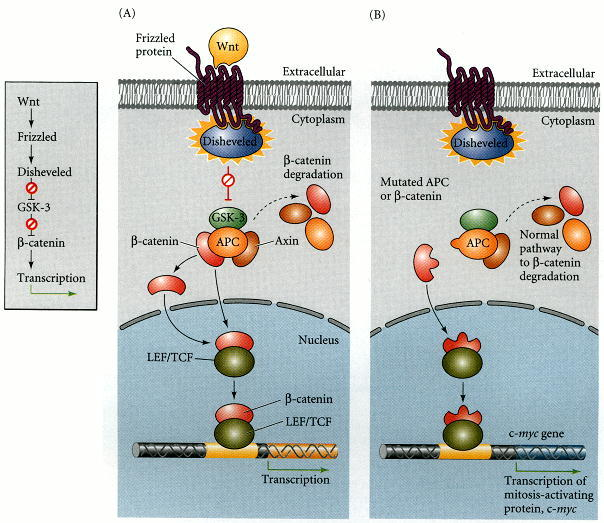 Figure 6.23. The Wnt signal transduction pathway.