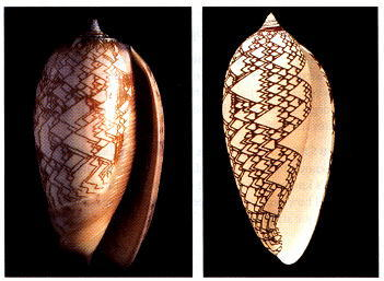 Figure 1.21. A photograph of the snail Oliva porphyria (left), and a computer model of the same snail (right) in which the growth parameters of the shell and its pigmentation pattern were both mathematically generated.