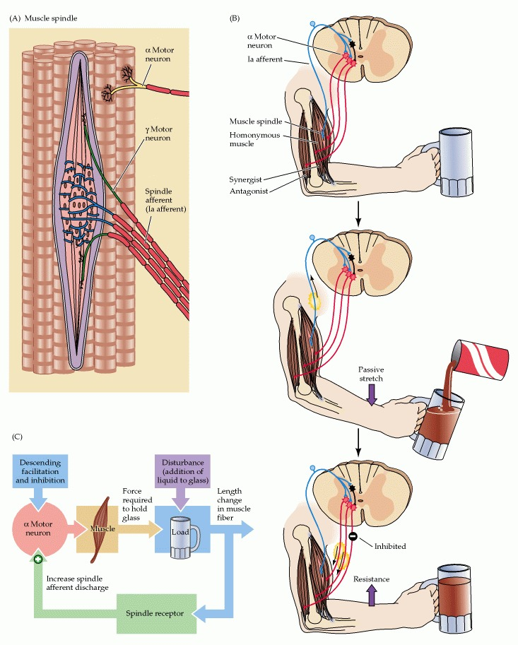 The Spinal Cord Circuitry Underlying Muscle Stretch Reflexes ...