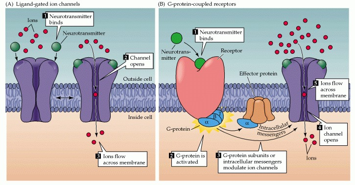 Figure 7.9. A neurotransmitter can affect the activity of a postsynaptic cell via two different types of receptor proteins: ionitropic or ligand-gated ion channels, and metabotropic receptors.