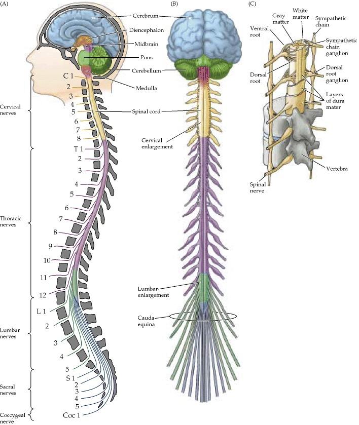 Chapter 3 Brain Nervous System Mr Moores Psychology