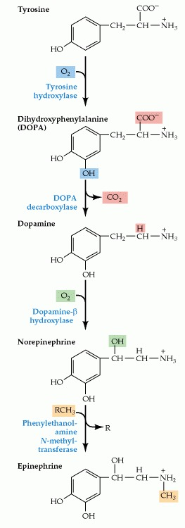 Figure 6.11. The biosynthetic pathway for the catecholamine neurotransmitters.