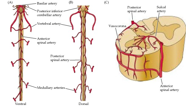 Figure 1.19. Blood supply of the spinal cord.
