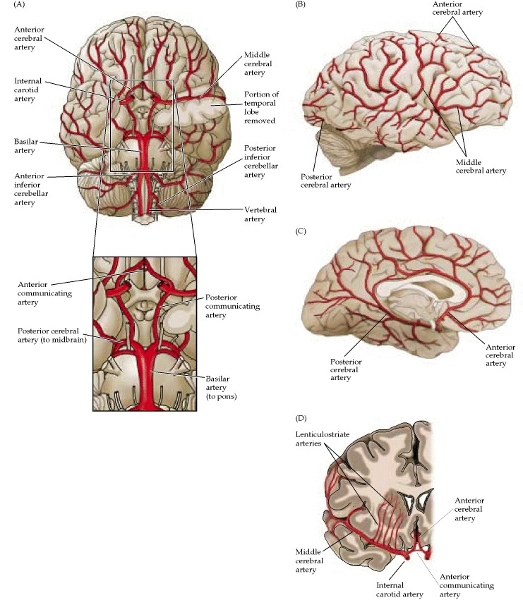 Figure 1.20. The major arteries of the brain.