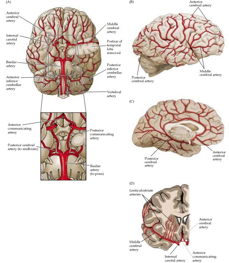 Figure 1.20. The major arteries of the brain.