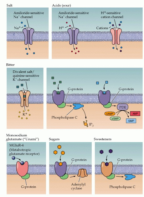 Figure 15.13. Examples of various channels and G-protein-coupled receptors that activate taste transduction in response to various compounds.