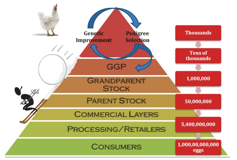 Diagram showing how just a few thousand animals at the top of a breeding pyramid become trillions of eggs or broilers at the bottom
