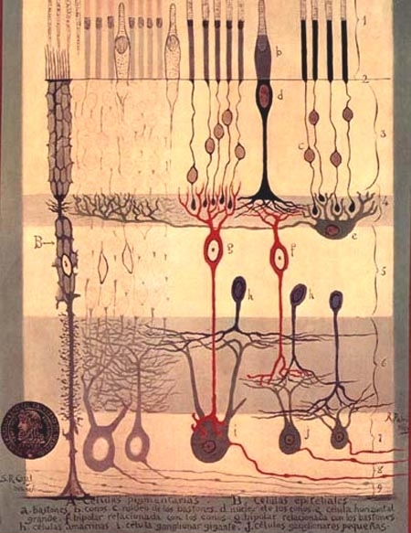 Figure 1. Drawing of the retina made by Cajal.