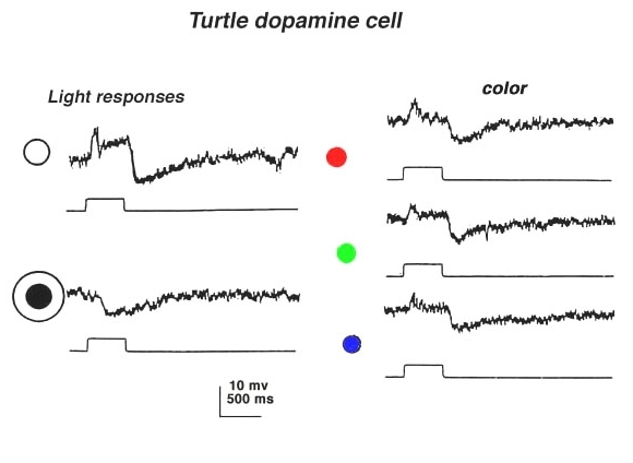 Figure 33a. Light responses of the dopaminergic amacrine cell in the turtle retina (47).