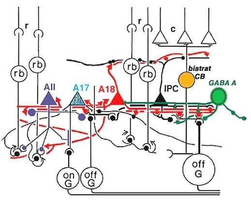 Figure 33b, [Wiring diagram of the A18 amacrine cell.]. - Webvision - NCBI  BookshelfNCBI - NIH