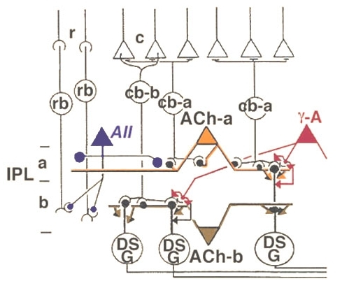 Figure 39, [Wiring diagram of the two types of ACh ... on