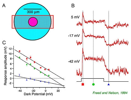 Figure 46 properties of light evoked synaptic voltages figure 46 ccuart Choice Image