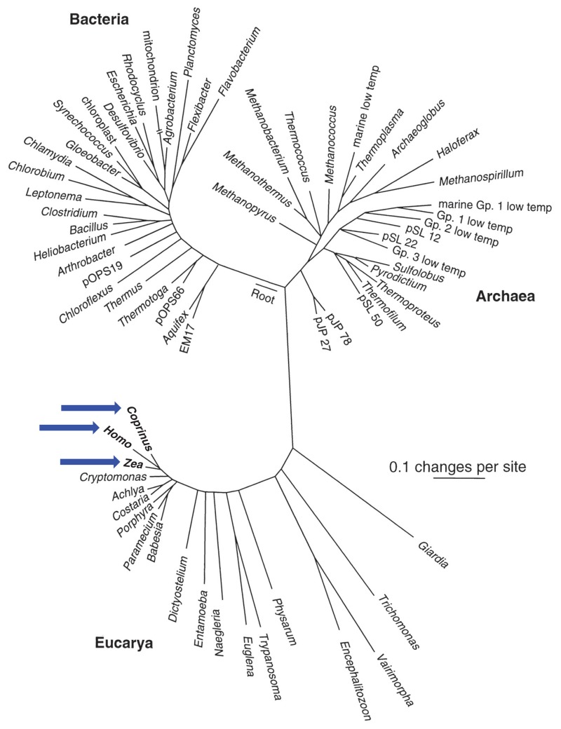 An rRNA universal tree of life diagram based on a comparison of nucleic acid (RNA) sequences found in all cellular life (small subunit ribosomal RNA)