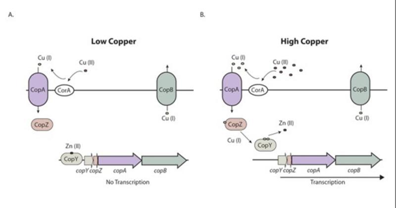 Figure 3 The Cop Operon A Regulation Enterococci Ncbi