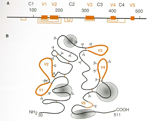 Figure 6. Schematic representation of HIV-1 gp120 structural domains.