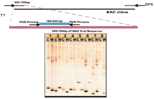 Figure 2, Strategy for SNP detection: PCR primers were