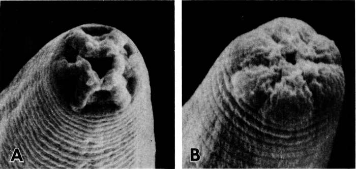 Figure 2. External morphological differences between an L2 larva (A) and a dauer larva (B) are shown by scanning electron micrographs of the head.