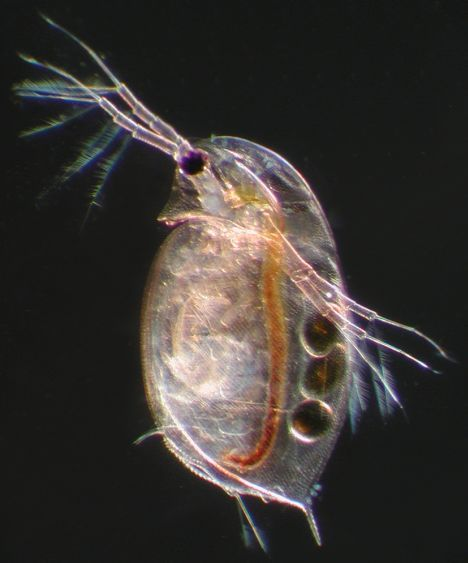 Introduction to Daphnia Biology - Ecology, Epidemiology, and ...