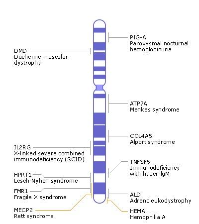 Image Xchr jpg X Chromosome Map