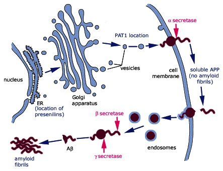 amyloid protein mediated neurodegeneration in alzheimers disease In addition to senile plaques and cerebral amyloid angiopathy, the  of  alzheimer's disease: focusing on tau-mediated neurodegeneration.