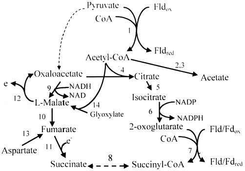 citric acid cycle. Citric acid cycle and related