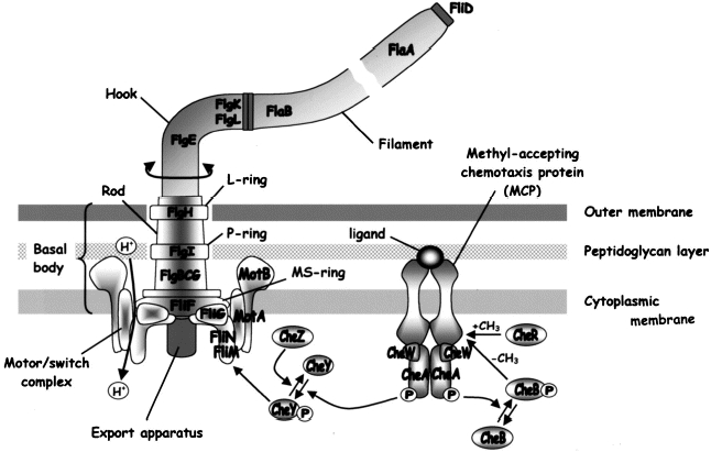 Figure 1. Flagellar and chemotaxis proteins and their putative locations and interactions.
