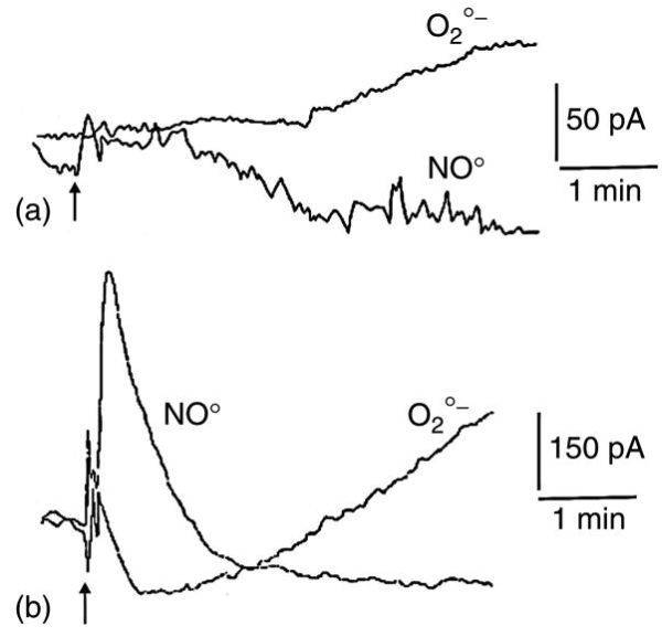 FIGURE 13.7. Detection of O • −2 on a ferricytochrome c modified gold electrode and NO• on a commercial selective electrode at a sub-millimetric distance from a layer of 106 glioblastoma cells (of the A172 line).