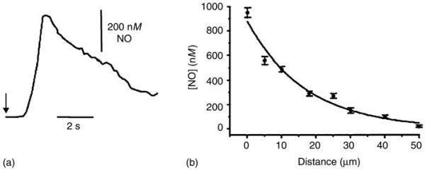 FIGURE 13.9. (a) Release of nitric oxide detected by a porphyrin modified microelectrode placed 10 μm from the surface of an isolated endothelial cell (an endocardium cell of a rabbit) stimulated by a calcium ionophore (A23187) at t = 0 s.