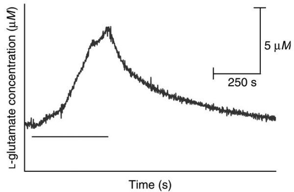 FIGURE 19.30. Representative tracings from a typical L-glutamate signal recorded in the striatum of a freely moving c57BL/6 mouse from a fox urine stressor.