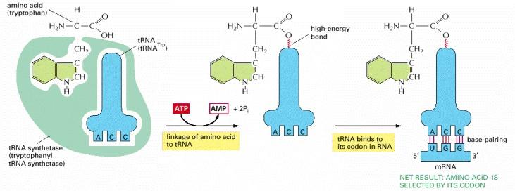 Alberts representation of tRNA