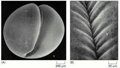 Figure 18-30. Cleavage in a fertilized frog egg.