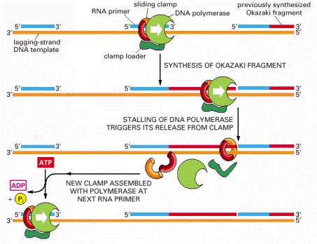 Figure 5-20. A cycle of loading and unloading of DNA polymerase and the clamp protein on the lagging strand.