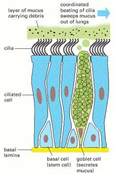 Cilia+cell+diagram