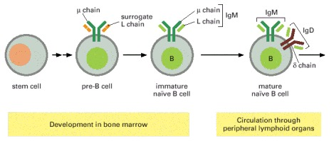 Figure 24-22. The main stages in B cell development.
