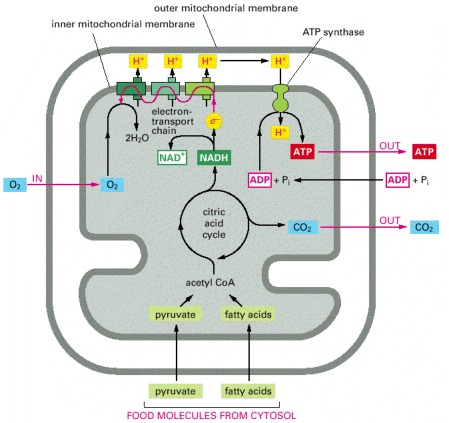 Figure 14-10. A summary of energy-generating metabolism in mitochondria.