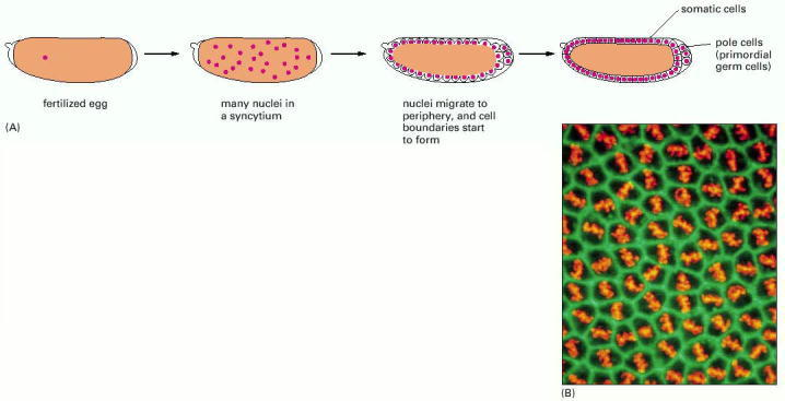 animal cell undergoing mitosis. nuclei undergoing mitosis