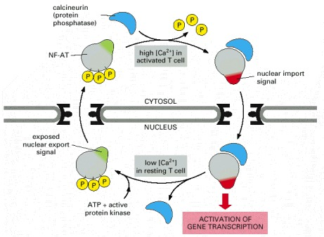 Figure 12-19. The control of nuclear import during T-cell activation.