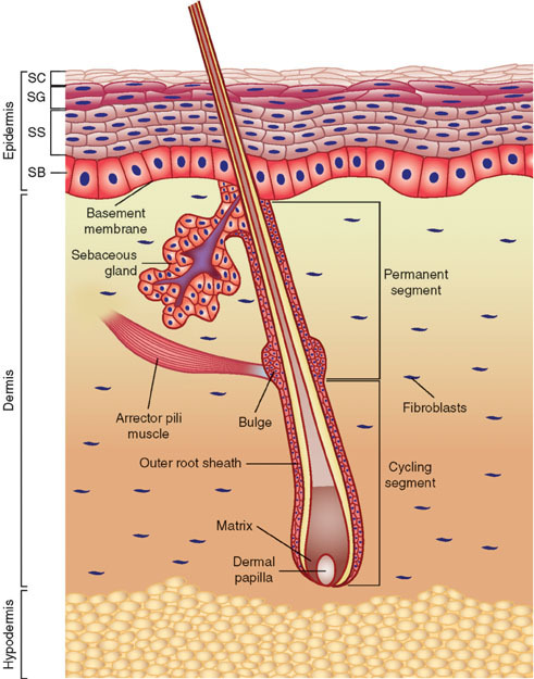 Figure 1, [Anatomy of the skin. Skin...]. - StemBook - NCBI Bookshelf