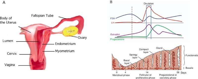 Figure 1, Uterine anatomy. - StemBook - NCBI Bookshelf