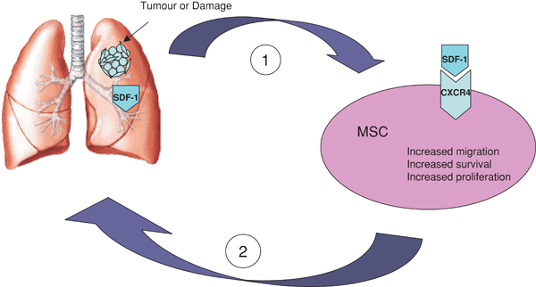 Figure 1. Schematic representation of selective migration of MSCs to areas of tissue injury and tumours where they contribute to tissue repair and tumour-associated stroma formation.