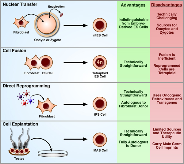 Figure 2. Methods of nuclear reprogramming, their advantages and limitations.