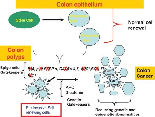 Figure 1 Key Genes For Stem Progenitor Cell Control Which Are Frequently And Often Concordantly Aberrantly Silenced In Association With Promoter Cpg Island Dna Hypermethylation In Pre Invasive Colon Lesions Stembook Ncbi