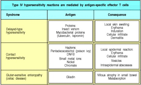 Type IV hypersensitivity responses.