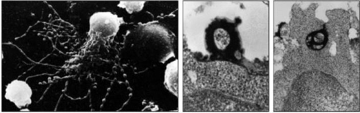 Figure 9.15. Immune complexes bound to follicular dendritic cells form iccosomes, which are released and can be taken up by B cells in the germinal center.