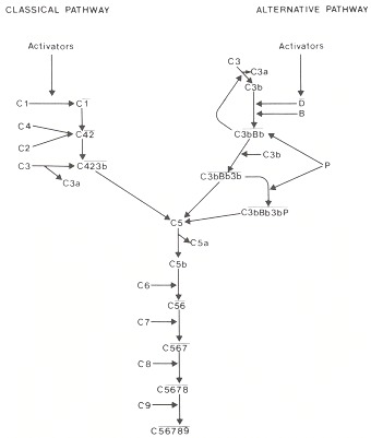 Figure 167.7. Simplified schematic of the classic and alternative pathways and the terminal sequence of complement activation.